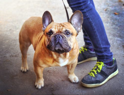 What You Need to Know About Knee Surgeries in Dogs